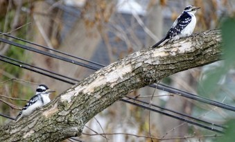 Hairy Woodpecker (F) - Irondequoit - © Candace Giles - Dec 01, 2016